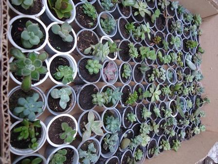 Suculentas y cactus a $1000 para transplante. Regalos Amor y amistad